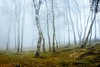 Onlookers II (J C Mills Photography) Tags: peakdistrict landscape stantonmoor woodland trees birch mist fog light outdoors