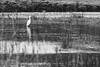 Aigrette garzette - Egretta garzetta (lignesbois) Tags: oiseau noiretblanc nb blackwhite bw pentaxlifebw pentax k3ii sigma70300f456apodgmacro marais eau