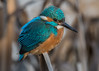 Kingfisher ( Alcedo atthis ) Male (Dale Ayres) Tags: kingfisher alcedo atthis male bird nature wildlife ailing is