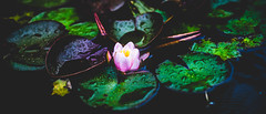 Water Lily (Alexandermannphotography) Tags: waterlily flower pond lotus vibrant matte rain