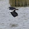 Lapwing flight (Katy Wrathall) Tags: 2018 england march spring tyneandwear wwt washington wildfowlandwetlandtrust birds lapwing waterfowl