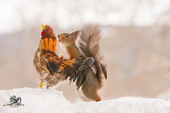 red squirrel holding a rooster in snow (Geert Weggen) Tags: humor animal cute snow backlit bright closeup food horizontal mammal nature passion photography red rodent squirrel sun sweden travel vacations winter egg love balance easter knife table cock rooster bispgården jämtland geert weggen hardeko ragunda