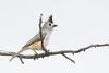 Mighty Mouse (gseloff) Tags: tuftedtitmouse bird nature wildlife animal perch branch thenatureconservancy dolanfallspreserve devilsriver valverdecounty texas gseloff