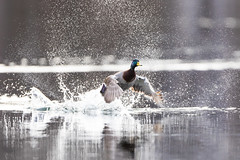 Splish Splash Take Off (brendon_curtis) Tags: canon 7dmkii eos usm 500mm f4l is super telephoto nature natural avian water fowl bird birds