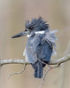 Obliging Young Lady (tresed47) Tags: 2018 201803mar 20180327bombayhookbirds birds bombayhook canon7d content delaware folder kingfisher march peterscamera petersphotos places season takenby us winter ngc