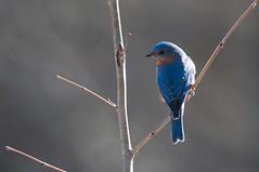 Eastern Bluebird (chlorophonia) Tags: birds animals vertebrates easternbluebird turdidae animalia sialiasialis thrushes