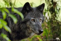 Yellow Eyes (PamsWildImages) Tags: wildlife wildlifephotographer wolf bc britishcolumbia canada canon nature naturephotographer pamswildimages pammullins