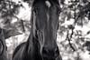 Eva is casually looking majestic (leodudin) Tags: nikon d7000 70210mm horse horses equine animals bw blackandwhite blackwhite portrait portraiture moody tree animal