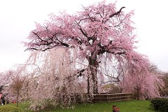Weeping Cherry Tree / Kyoto Gion Maruyama Park 京都 祇園 円山公園 一重白彼岸枝垂桜 (maco-nonch★R) Tags: japanese japon kyoto 京都 throughherlens weeping cherrytree sakura 桜 櫻 maruyama gion 祇園 枝垂れ桜 canon eosm5 manual 円山公園 しだれ桜 famous asia