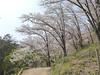 18o8086 (kimagurenote) Tags: 桜 sakura cherry blossom prunus cerasus flower tree 多摩森林科学園 tamaforestsciencegarden 東京都八王子市 hachiojitokyo