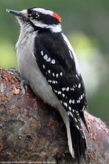 2018-03-28 Downy Woodpecker (01) (680x1024) (-jon) Tags: anacortes fidalgoisland sanjuanislands skagitcounty skagit washingtonstate washington salishsea woodpecker bird male spring downywoodpecker picoidespubescens a266122photographyproduction