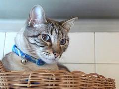 Amadeus (pedrosimoes7) Tags: seterios lisbon portugal gato cat chat pets portrait retrato catmoments kitten amadeus pet100 pet500 pet1000 pet1500 pet2000
