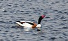 Shelduck (Tadorna tadorna) - male (iainrmacaulay) Tags: bird uk shelduck tadorna