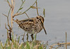 DSC7780  Jack Snipe... (jefflack Wildlife&Nature) Tags: snipe jacksnipe birds avian animal animals wildlife wildbirds waterbirds wetlands waders waterways marshland marshes lakes estuaries estuary countryside norfolk nature