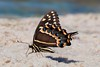 Palamedes Swallowtail (Papilio palamedes) (Douglas Heusser Photography) Tags: palamedes swallowtail butterfly papilio insect arthropod black wings lepidoptera lepidoptery markings beach sand shore apalachicola florida fl canon macro photography wildlife nature heusser photo 100mm lens