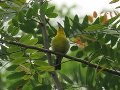 Aegithina tiphia (dhobern) Tags: 2018 aegithinatiphia aves china march passeriformes xtbg xishuangbanna yunnan aegithinidae