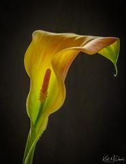 Backlit Calla Lilly (Kurt McDaniel) Tags: flowers garden closeup macro mygarden