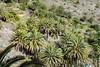 palms, palms, palms.... (green_lover) Tags: palms trees masca tenerife canaryislands spain green nature plants 7dwf