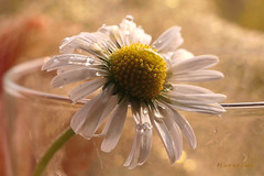 Daisy ... (MargoLuc) Tags: daisy spring flower white bokeh natural light droplets glass petals