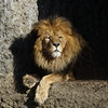 The king (eric zijn fotoos) Tags: headshot kopstudie sonyrx10m3 animal dier rots rock lion leeuw