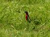 Red-breasted Meadowlark / Sturnella militaris, Trinidad (annkelliott) Tags: trinidad island caribbean westindies ondrivetocaroniswamp nature wildlife ornithology avian bird redbreastedmeadowlark sturnellamilitaris icteridae passerine sideview distant grass outdoor 19march2017 fz200 fz2004 annkelliott anneelliott ©anneelliott2017 ©allrightsreserved