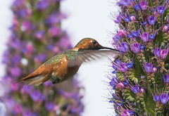 Allen's Hummingbird (98) (Jerry Ting) Tags: garinave hayward california allenshummingbird male 2018bigyear