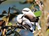 Lavadeira-mascarada (Degu SASF) Tags: ave aves brasilia brasil brazil df distrito federal bird birds cerrado