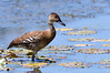 West Indian Whistling-Duck. (Kremlken) Tags: ducks watefowl pr neotropical birds birding birdwatching nikon500 threatened