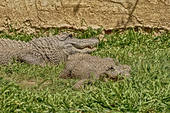 a mom's hug lasts long after she lets her baby go... (@Katerina Log) Tags: mother animal wild wildlife wildanimal reptile child bokeh depthoffield crocodile attikazoopark katerinalog outdoor daylight griechenland greece ground grass natura nature sonyilce9 fe70200mmf4goss maternity