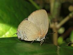 Exorbeatta sp. (Camerar 4 million views!) Tags: exorbeatta butterfly lycaenidae peru siderussp siderus butterflies insect