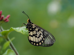 Caper White - Butterfly House (John_Fred) Tags: caper white caperwhite olympus omd1