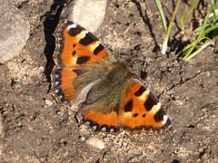 Small Tortoiseshell - Aglais urticae - Ollerton 05Apr18 (kerrydavidtaylor) Tags: butterfly butterflies lepidoptera nottinghamshire