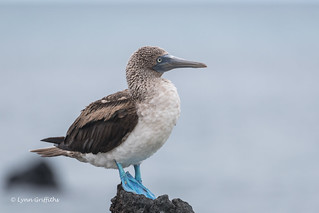 Blue-footed Booby D85_1790.jpg