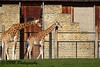 Kordofangiraf - Kordofan giraffe - Giraffa camelopardalis antiquorum (desire van meulder) Tags: animals dieren mammals zoogdieren giraffe giraf kordofangiraf kordofangiraffe giraffacamelopardalisantiquorum