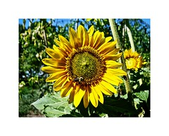 SuNNy SunfloWER (BlueisCoool) Tags: flickr foto photo image capture picture photography sony cybershot dscw300 yellow color colorful nature bee plant pretty sunflower flower garden outdoors sunnysunflower rogerwilliamsparkbotanicalcenter thecreativecapital providenceri theoceanstate rhodeisland newengland