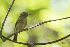 Tawny-crowned Greenlet (fernaabs) Tags: tawnycrowned greenlet hylophilus ochraceiceps verdillo leonado passeriformes vireonidae aves fernaabs burgalin avesdecostarica
