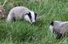 9Q6A9288 (2) (Alinbidford) Tags: alancurtis alinbidford badgercubs brandonmarsh nature wildlife