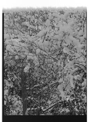 P61-2018-001 (lianefinch) Tags: argentique argentic analogique analog monochrome blackandwhite blackwhite bw noirblanc noiretblanc nb nature neige snow winter hiver white blanc noir arbre tree graphic graphique garden jardin