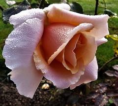 The garden:  morning beauty (ronmcbride66) Tags: rose dew garden thegarden flower dewdrops coth5 coth