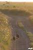 Helmeted Guineafowl - Numida meleagris (M@ximeP) Tags: helmeted guineafowl numida meleagris bird tanzania serengeti safari