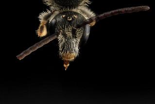 Lasioglossum albipes, m, face, france_2014-06-04-11.18