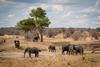 Ruaha National Park (ishootraw.pics) Tags: ruahanationalpark ruaha park safari animal portrait elephants elephant dombo