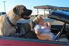 What carjackers? (jgbirdmangrossinger) Tags: huge large big dog woman car convertible joegrossinger