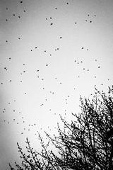 Birds (Stephen A. Wolfe) Tags: 35mm swolfe2000 adobelightroom adobelightroomcc kodakhc110 kodaktrix nikonfm3a blackandwhite film httpstephenwolfephotography plustekopticfilm8200i birds tree silhouette