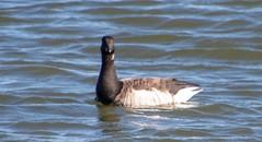 7K8A7365 (rpealit) Tags: scenery wildife nature barnegat lighthouse state park brant goose bird