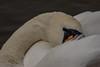Art of the Swan (Cygnus olor) (neil 36) Tags: bird swan cygnus olor majestic elegant feathers white