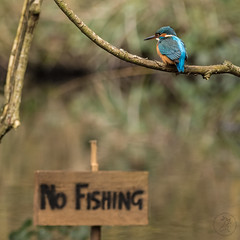 No Fishing, female Kingfisher on South London's River Wandle (bfgbronco) Tags: kingfisher nature wildlife canon river birds