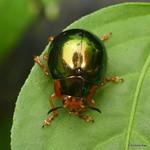 Leaf beetle, Platyphora thomsoni thumbnail