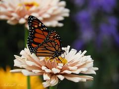 Almost spring... (NaturewithMar) Tags: butterfly macro zinnia flower 7dwf monday freetheme spring 2018 nikoncoolpix b700 monarch monarca mariposa ngc