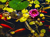 Koi and Waterlilies (Marcia Fasy) Tags: koi ruggedpoint waterlilies birds